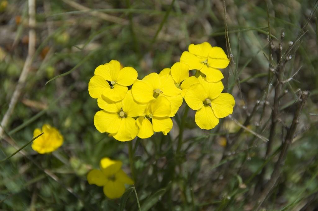 цветок алиссум горный посадка и уход