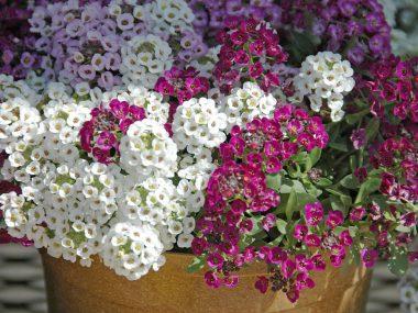 Алиссум (бурачок): выращивание из семян.