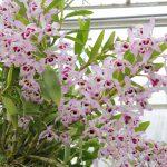 Орхидея дендробиум нобиле: уход в домашних условиях миниатюра