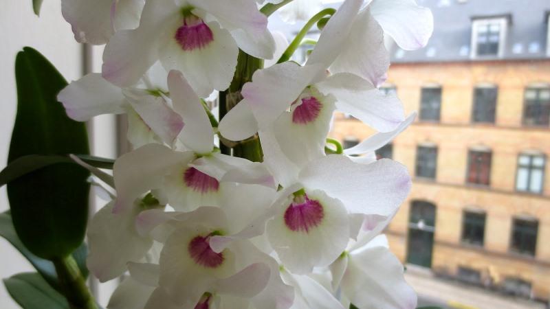 орхидея дендробиум нобеле зимой