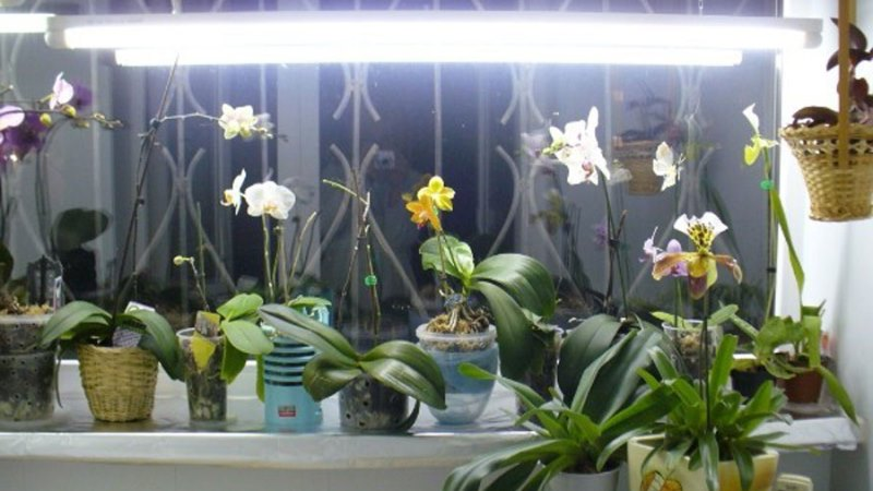 освещение орхидей дендробиум
