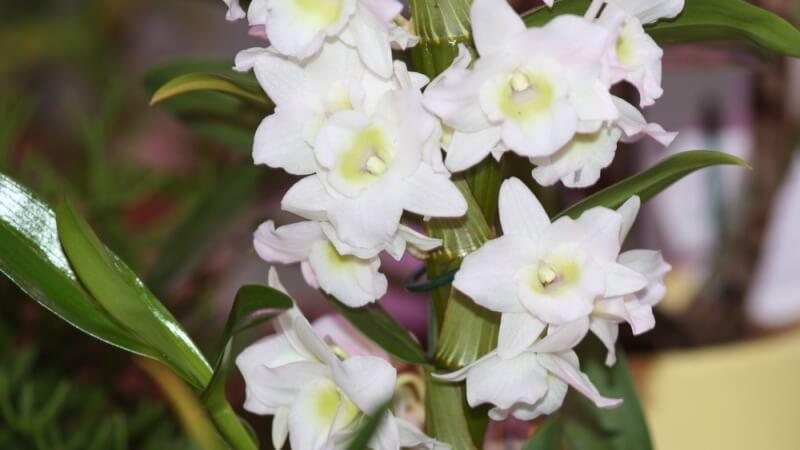 орхидея дендробиум нобиле уход