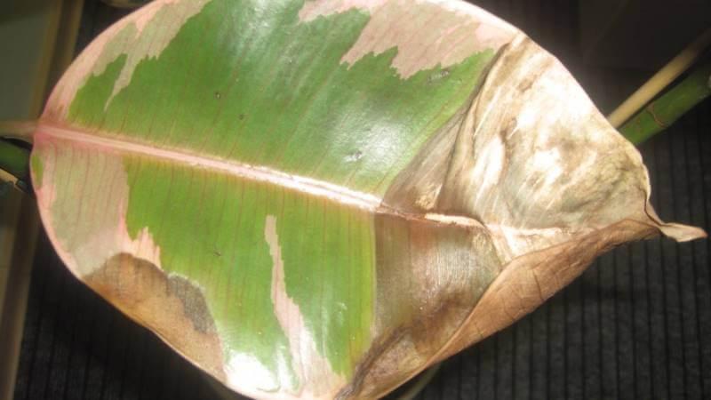 фикус сухие листья