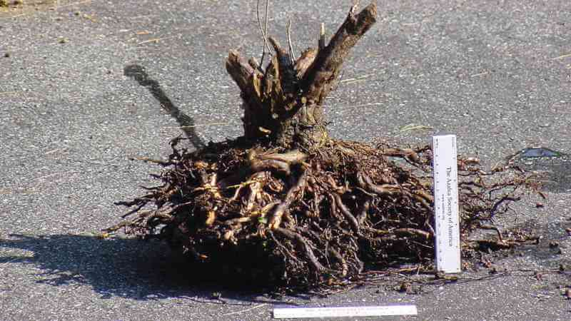 корневая система рододендрона
