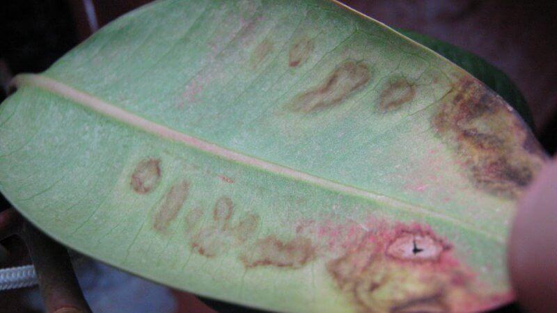 заболевания фикуса каучуконосного