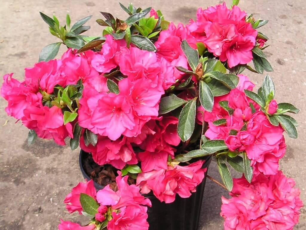 Азалия - уход в домашних условиях посадка цветок в горшке фото видео