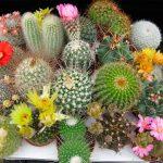Как ухаживать за кактусом в домашних условиях? Виды и фото. миниатюра