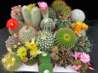 Как ухаживать за кактусом в домашних условиях? Виды и фото.