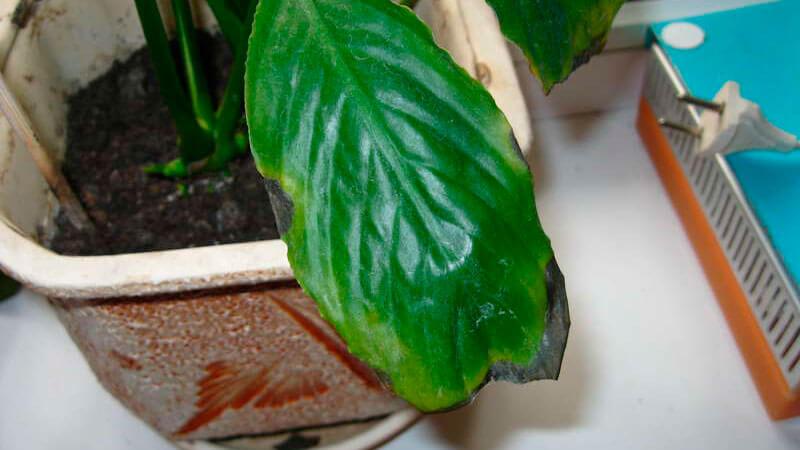 чернеют листья у спатифиллума