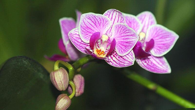 орхидея не цветет растут только листья
