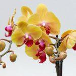 Уход за орхидеей до и после цветения.