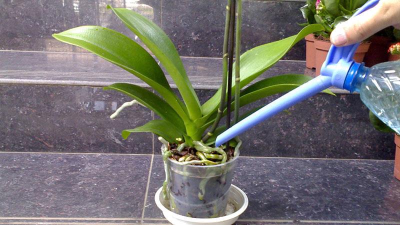 полив орхидеи чтобы зацвела