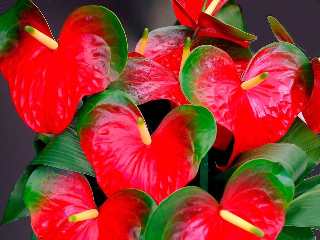 """Цветок """"мужское счастье"""": как размножается, как ухаживать, фото"""
