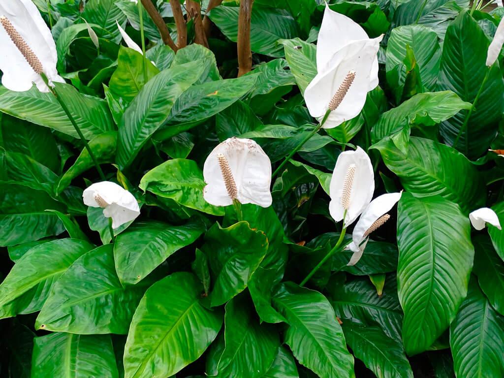 Почему в цветка женское счастье чернеют кончики листьев