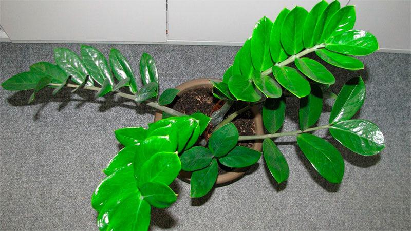 цветок долларовое дерево