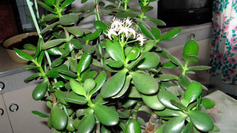 денежное дерево с замиокулькасом