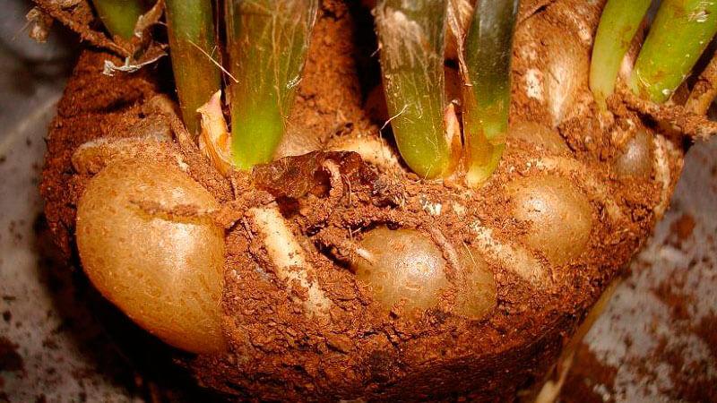загнивание корневой системы замиокулькаса