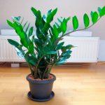 Замиокулькас (долларовое дерево): уход в домашних условиях. миниатюра