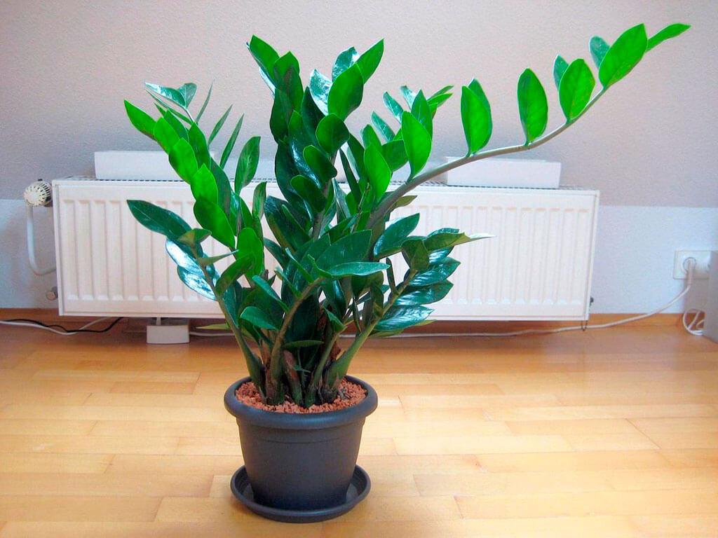 Как посадить долларовое дерево