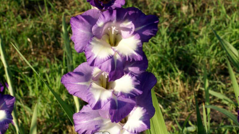 Фотография цветов гладиолуса