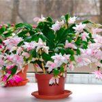 Цветок декабрист (шлюмбергера): уход в домашних условиях.