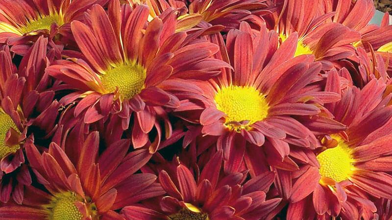 анемоновидные хризантемы
