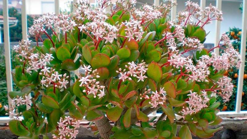 цветет ли денежное дерево