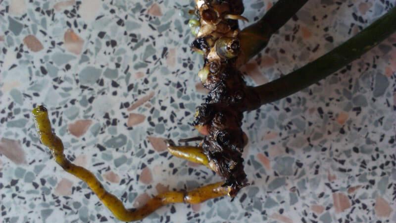 как спасти орхидею без корней