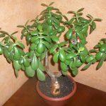 Денежное дерево (толстянка): уход в домашних условиях.
