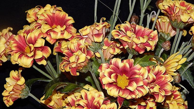 кудрявая хризантема