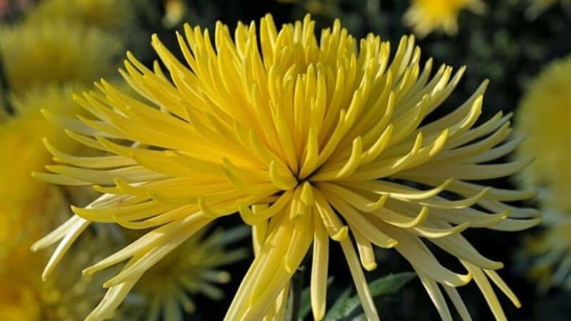 лучевидные хризантемы