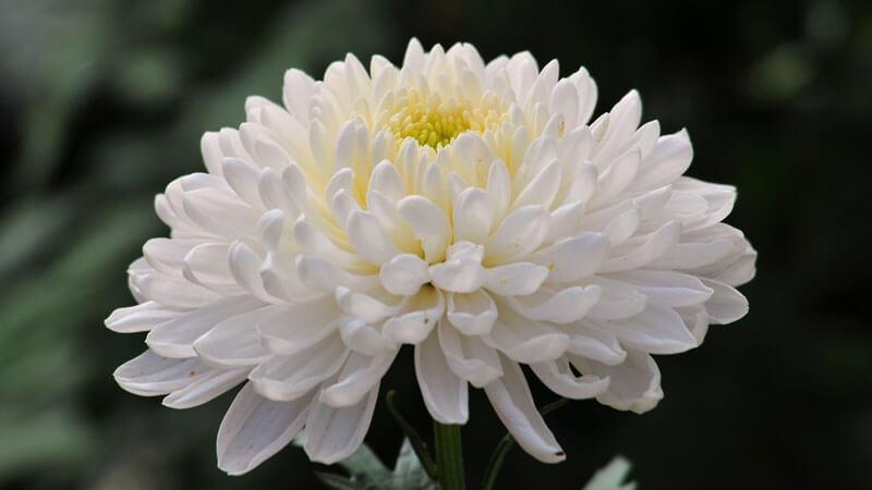 мохровые хризантемы