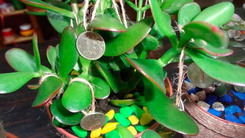 можно ли дарить денежное дерево из дома