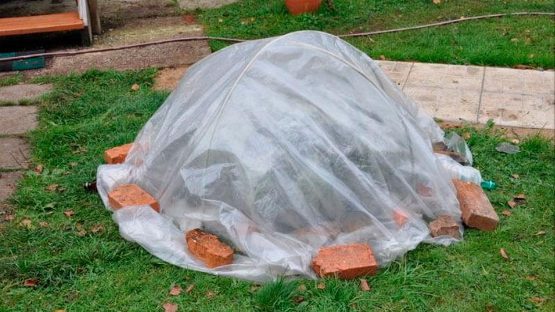 нужно ли укрывать гортензию метельчатую на зиму