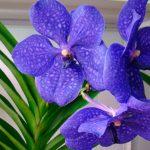 Орхидея Ванда: уход в домашних условиях. миниатюра