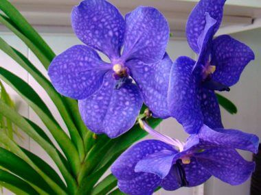 Орхидея Ванда: уход в домашних условиях.
