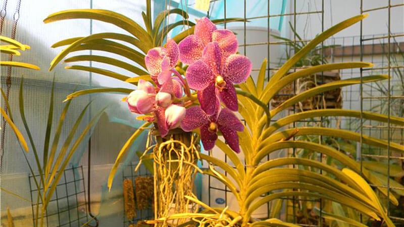 орхидея ванда в помещении