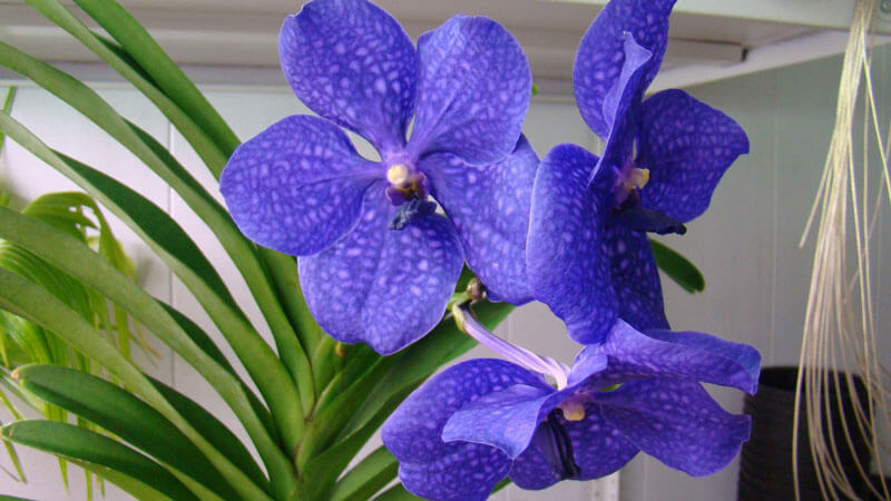 особенности в выращивании орхидеи