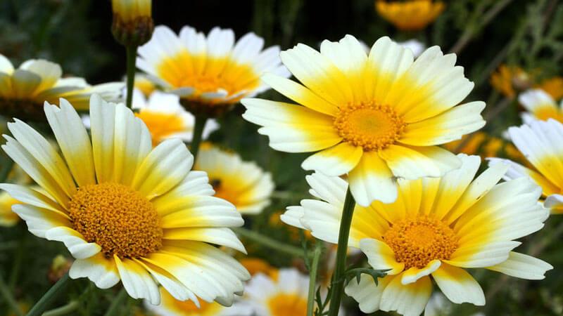 плоские хризантемы