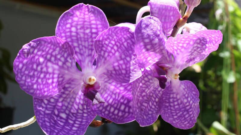 подкормка орхидеи ванда