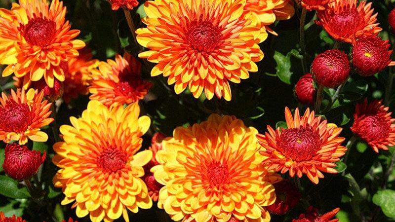 полумахровые хризантемы