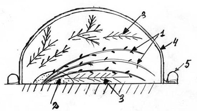 сорта гортензии древовидной