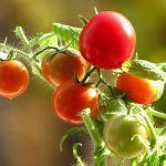 Выращивание помидоров на подоконнике зимой. миниатюра