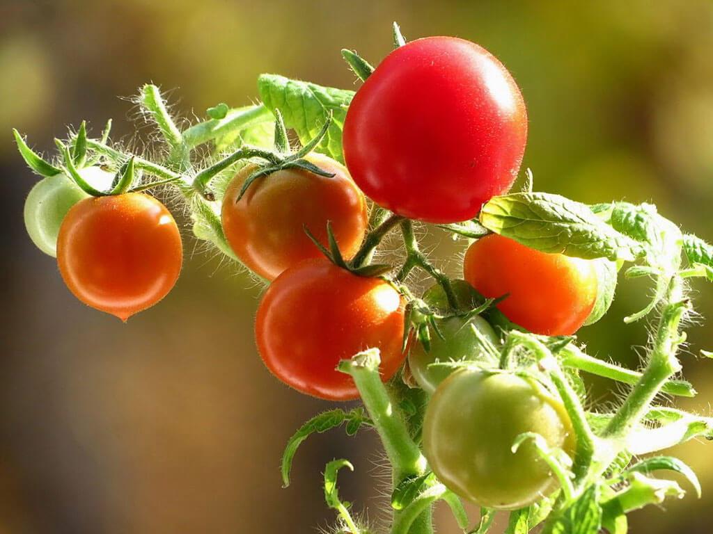 Помидоры на подоконнике выращивание и полив. Как вырастить на подоконнике помидоры