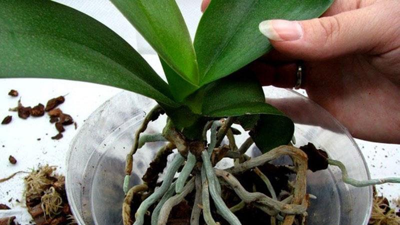 как пересадить отросток орхидеи