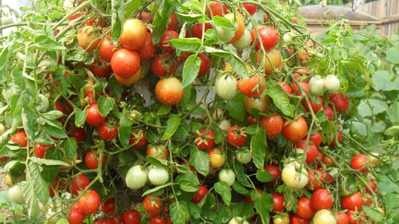 самоопыляемые семена помидоров для теплицы