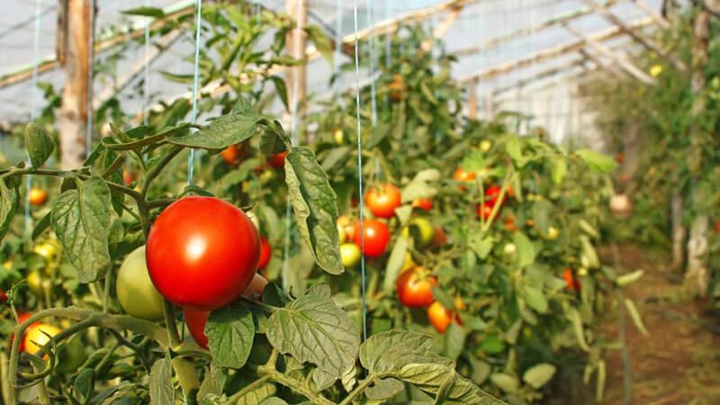 томаты лучшие сорта для теплиц