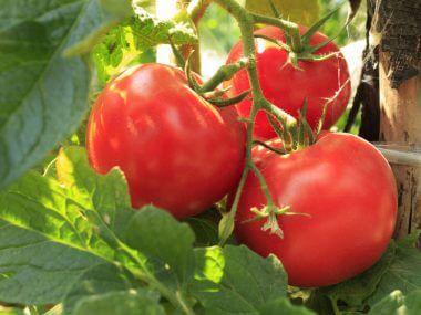 Выращивание томатов в теплице и открытом грунте.