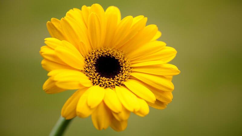 желтая гербера