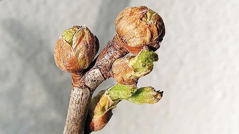 посадка смородины весной